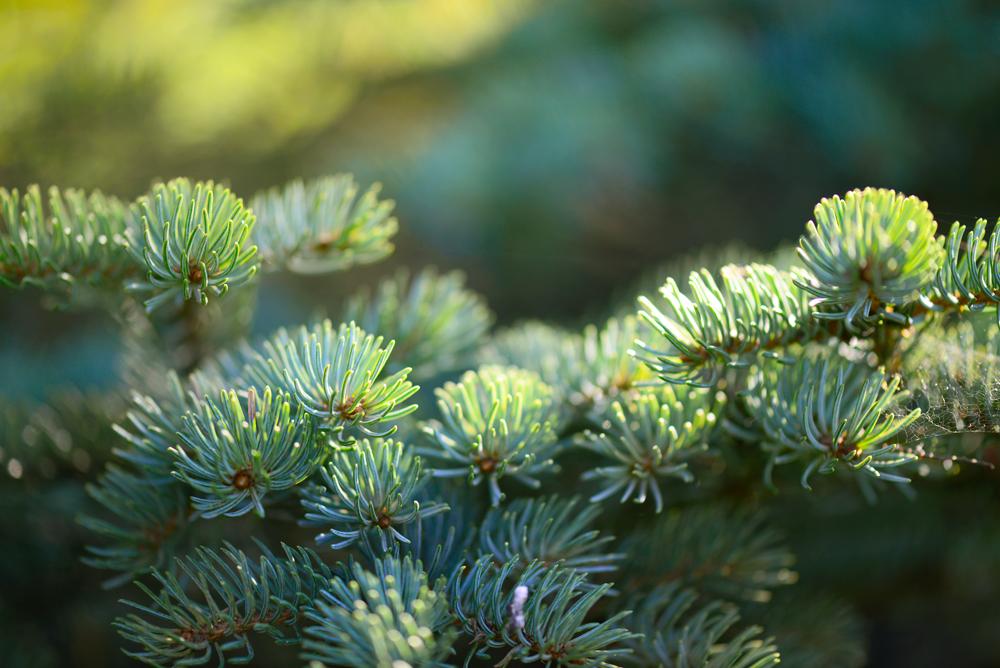 decorative spruce in the garden